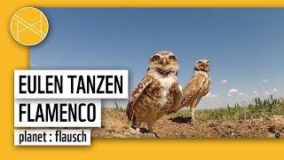 Eulen tanzen Flamenco | planet : flausch | planet : panda