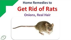 Home Remedies To Get Rid Of Rats | Get Rid Rats With Onions