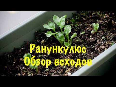 Лютик Ранункулюс (Ranunculus) уход и полив