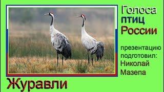 Журавли. Голоса птиц России
