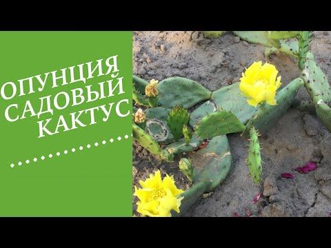 ОПУНЦИЯ- КАКТУС . КОТОРЫЙ ЗИМУЕТ!!!