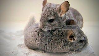 Cute Chinchilla 🐭Funny and Cute Chinchilla(Part 2) [Funny Pets]