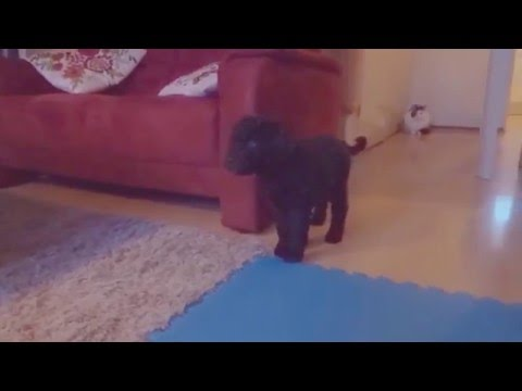 8 weeks old Barbet puppy explores her new home