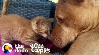 Watch This Kitten Grow Up with a Pit Bull  | The Dodo Odd Couples thumbnail