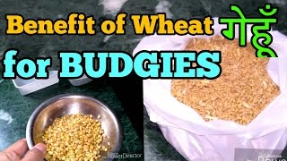 BENEFITS OF WHEAT (GEHU) FOR BUDGIES & COCKATIEL HINDI/URDU