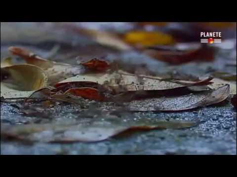 Des Fourmis Tueuses - Complet - Documentaire
