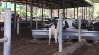Manure Processing (compost) Inside The Cow Shed - Organic Dairy Farm - Israel