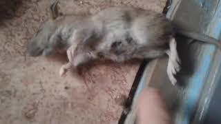 Кошка поймала мышку