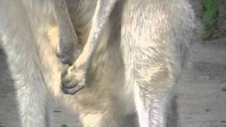 円山動物園のハイイロカンガルーのエリカ(メス/2歳)。 8月末に出産した...