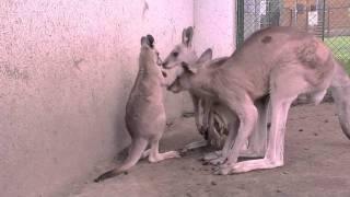 円山動物園のハイイロカンガルーの赤ちゃん。 1月に顔を出し始めた赤ち...