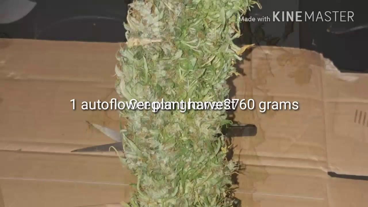 1 plant harvest  Autoflower northern lightsxheadlight kush