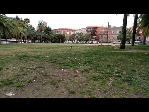 Papillon dog running in slow motion