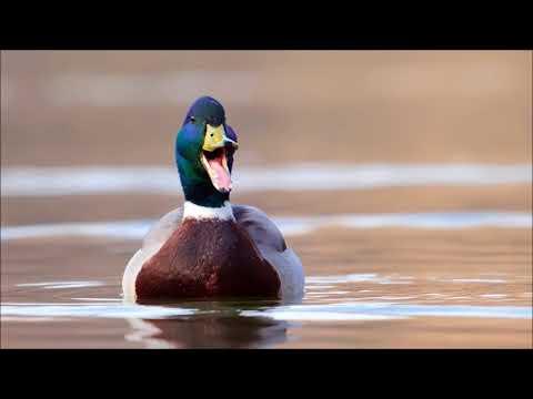 Duck Quack | Ringtones For Android | Animal Ringtones