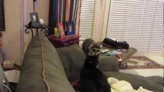 Енот пугает кота