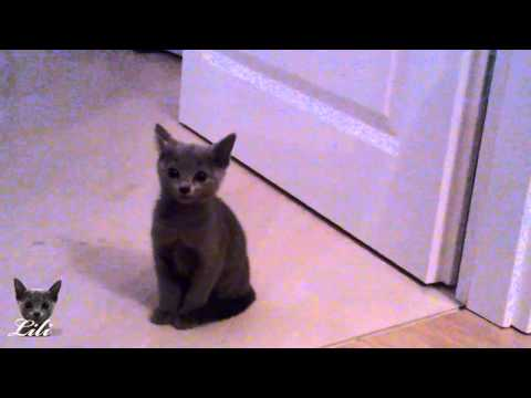 Lili (Russian Blue Kitten) misses her mother - cuteeeee
