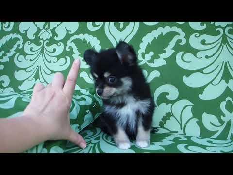 Мальчик померанского шпица метис - Продажа щенков шпица в Москве. Купить щенка недорого.