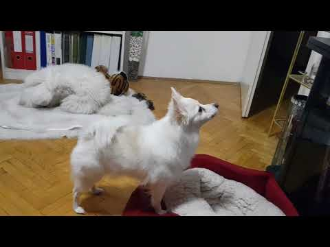 GERMAN SPITZ, BARKING AT TV FULL WITH ANIMALS