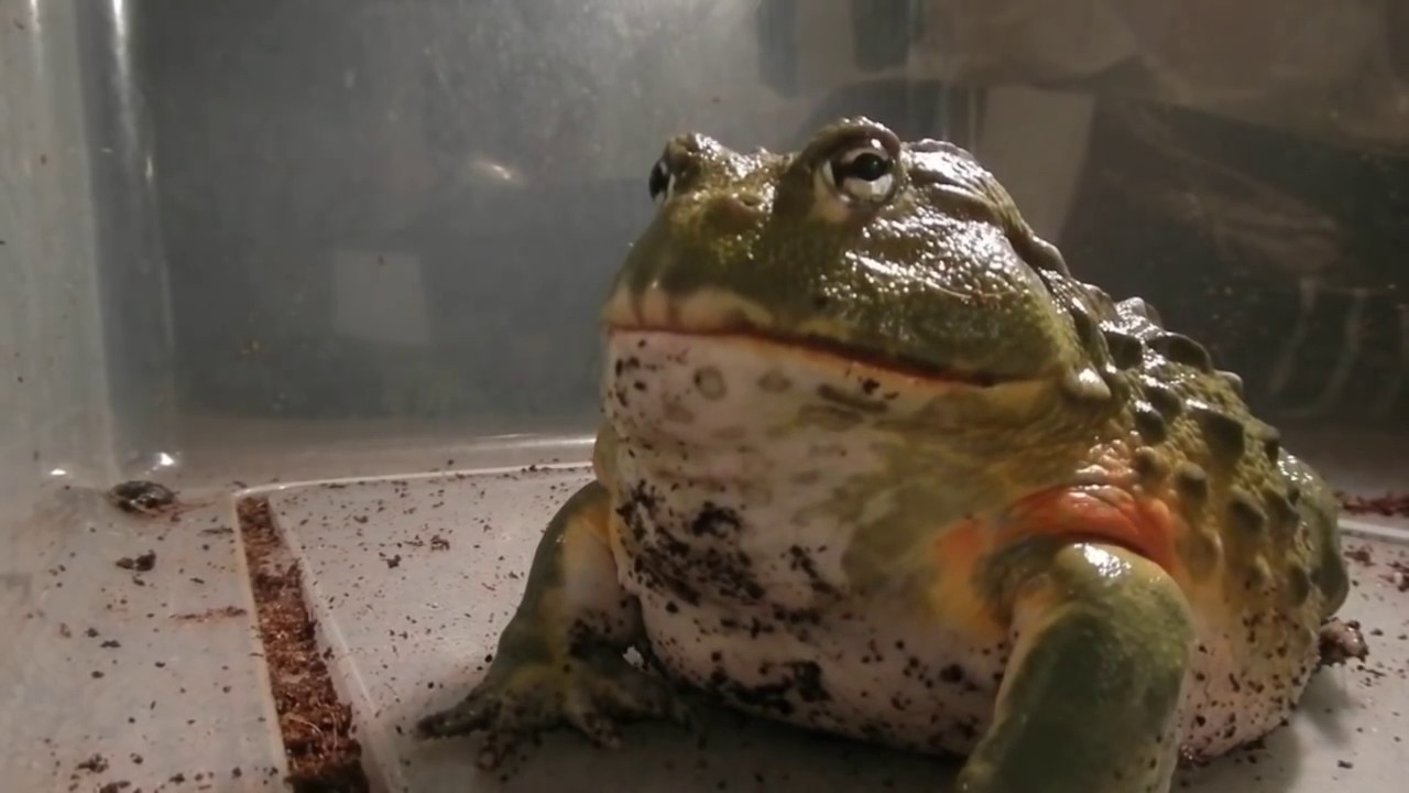 Giant African Bullfrogs Eating Everything In Sight Youtube