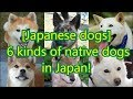 [Japanese dogs] 6 kinds of native dogs in Japan!