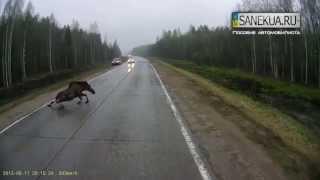 SANEKUA.RU Осторожно, животные на дороге!