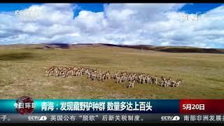 [今日环球]青海:发现藏野驴种群 数量多达上百头| CCTV中文国际