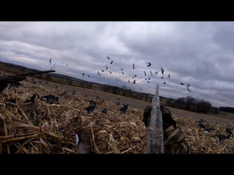 GOOSE HUNTING 2019 - 2020 Pennsylvania Waterfowl Season - Lots Of Geese!  Awesome Footage!