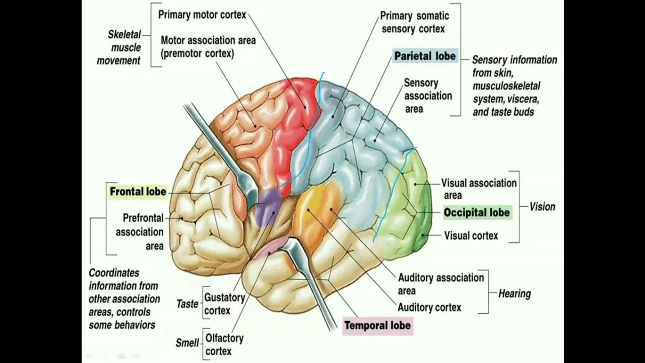 CNS Pathology - Edema, hydrocephalus and herniation - By Bayan Ayyad ...
