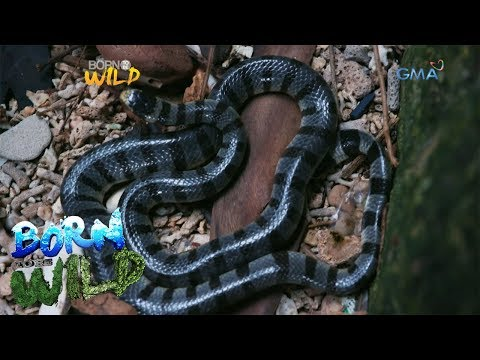 Born to Be Wild: Observing the Banded Sea Krait on a snake island