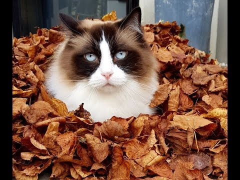 Cat Loves Fall/ Autumn Leaves     (Timo the Ragdoll Cat)