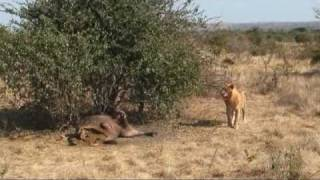 Mama Tembo Tours Lions Hyenas Vultures, Ruaha NP
