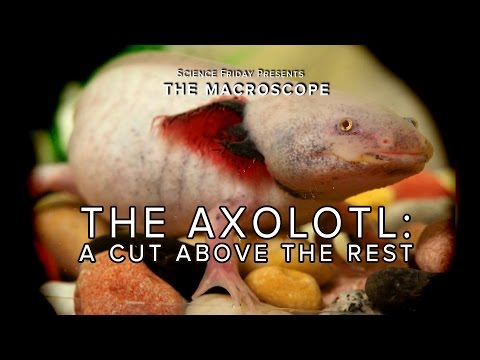 The Axolotl: A Cut Above The Rest