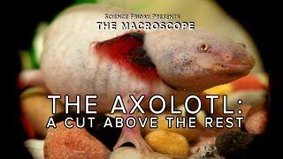 The Axolotl: A Cut Above the Rest