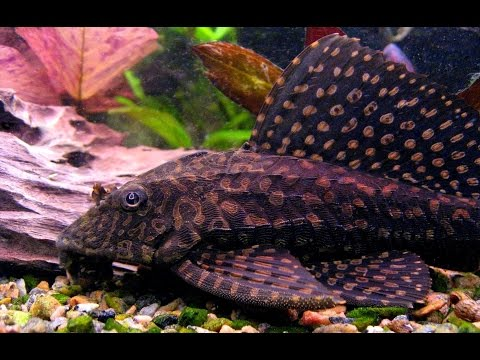 Spotted puffer, pictus catfish, male fiddler crab from YouTube · Duration:  49 seconds  · 249 views · uploaded on 11/27/2011 · uploaded by CrStalCaNNiBuS