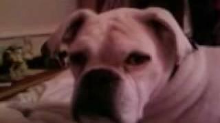 WHITE BOXER DOG  ALI Thumbnail