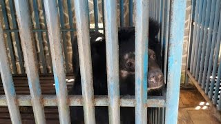 BREAKING: Four bears rescued from Vietnam bile farms