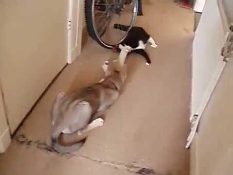 Tamaskan Puppy vs Kitty (Part 1)