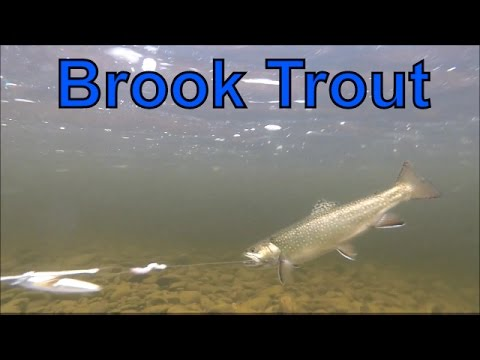 Brook Trout Fishing New Brunswick Canada 2016-Underwater Views