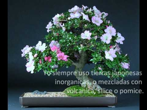 Video inizacion al bonsai youtube - Cuidado del bonsai ...