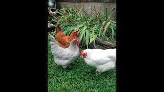 Chicken Feed thumbnail