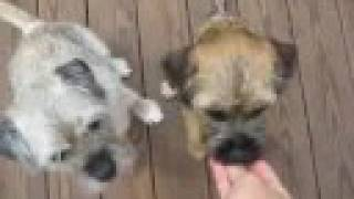 Border Terriers Show How Smart They Are...