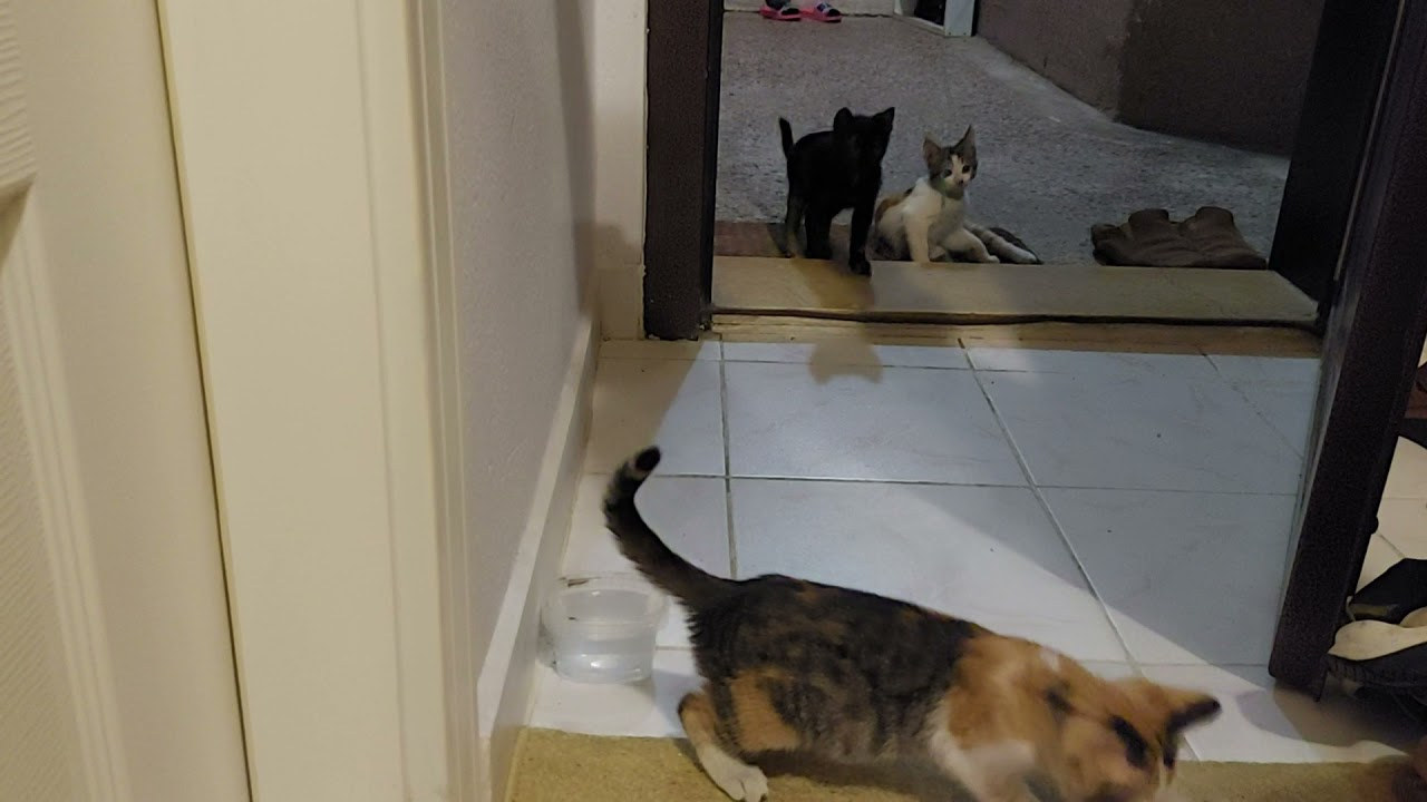Cute kittens getting up for string catch, calico kitten freezing