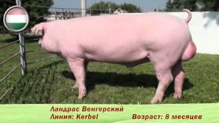 Фридом Фарм Бекон: племенные свиньи породы 'Ландрас'