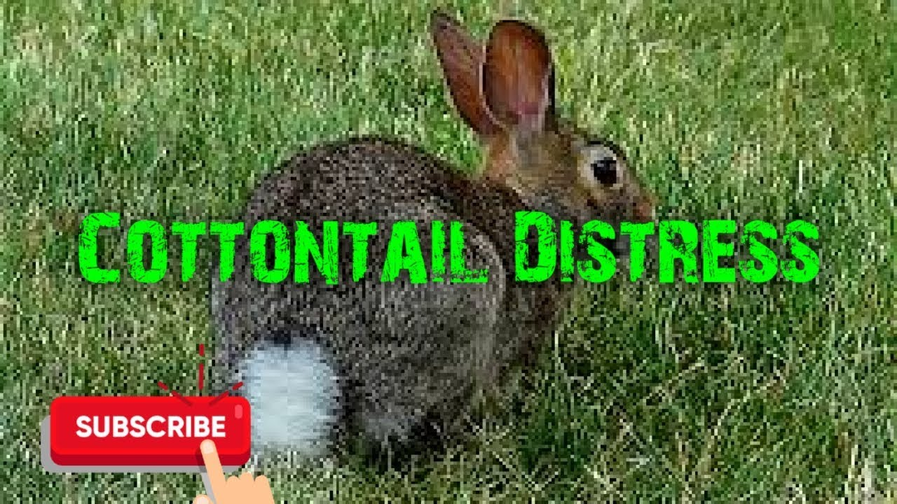 Predator Hunting Call – Cottontail Distress – 29 Minutes – Free Download