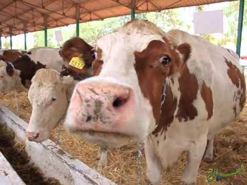 جولة داخل أروقة المعرض الوطني المهني لتنمية تربية الماشية سيدي بنور