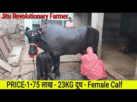 👍FOR SALE - PRICE 1.75 Lakh -Murrah Breed -3rd Lactation - 22KG MILK - Female calf- @BAHADURGARH.👍
