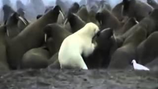Белый медведь нападает на моржей Polar bear attack Walrus