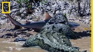 Un crocodile se bat contre un requin-bouledogue