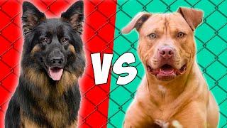 Pastor aleman VS Pitbull Terrier Americano  Quien gana?