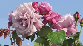 神奈川県平塚市の花菜ガーデンのバラ園です。つるバラのコーナーには修...