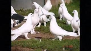 Видео клип к песне Голуби